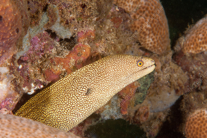Golden Tail Moray