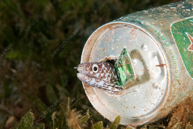 Spotted Moray Eel in a beer can