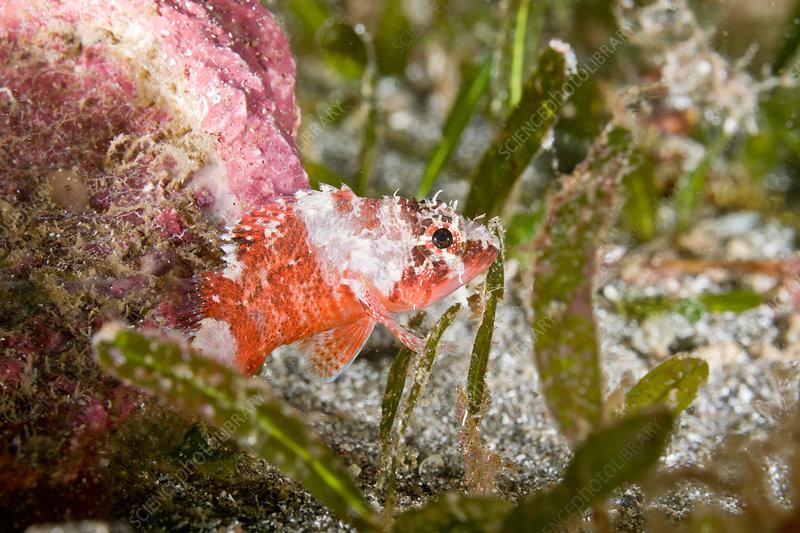 Reef Scorpionfish, juvenile