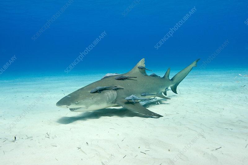 Lemon shark with remoras