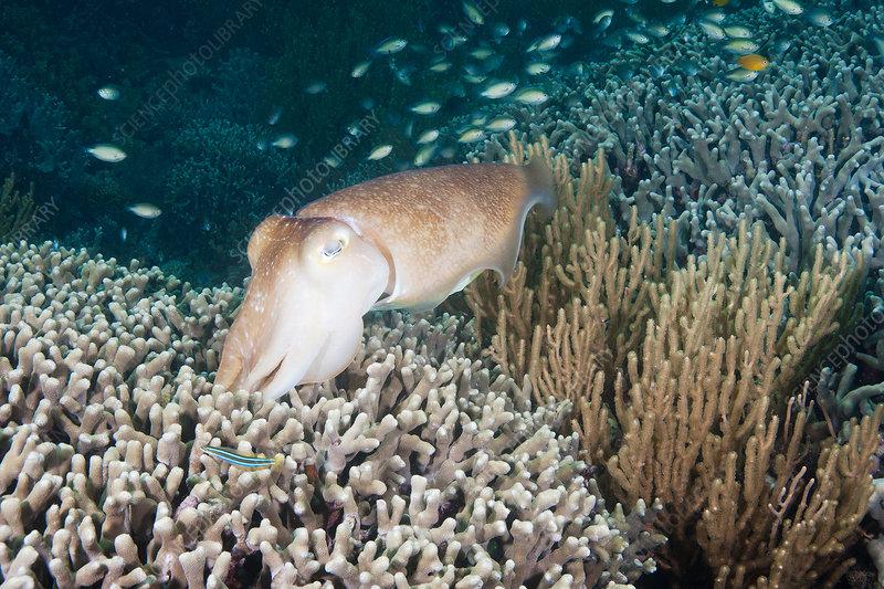 Broadclub cuttlefish depositing eggs