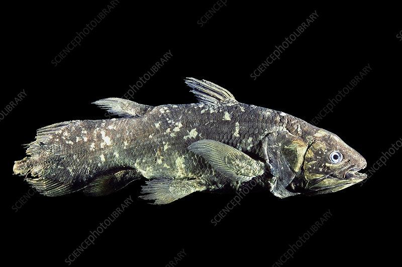 Coelacanth Specimen