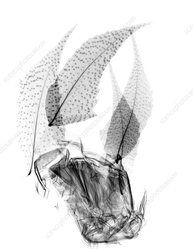 Plant leaves, X-ray