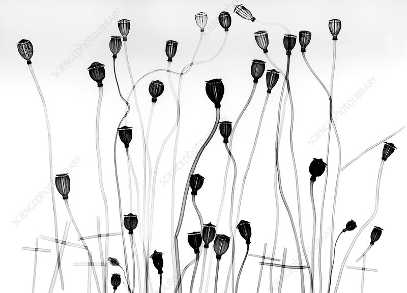 Poppy seedheads, X-ray