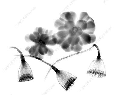 Lotus seedheads and houseleeks, X-ray