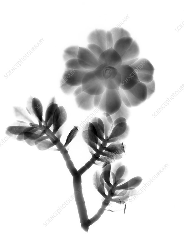 Houseleek and foliage, X-ray