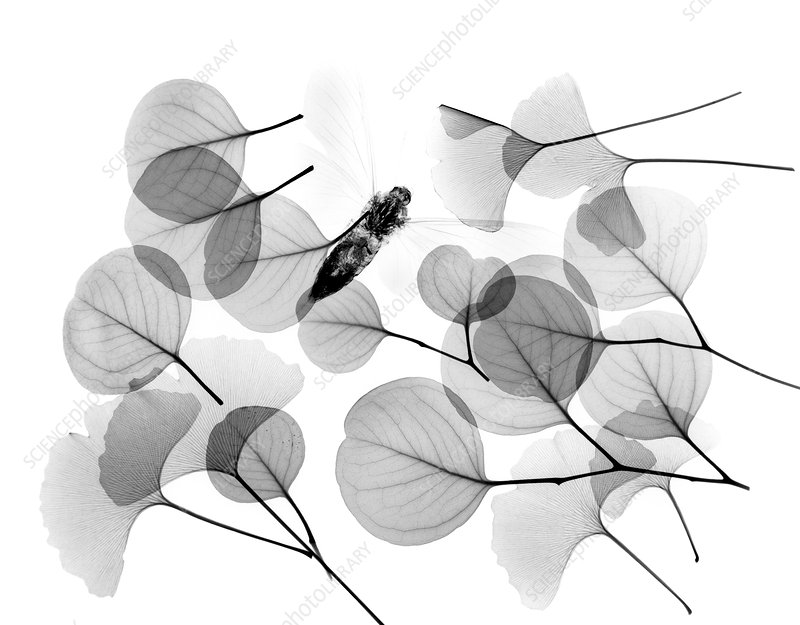 Insect and plant leaves, X-ray
