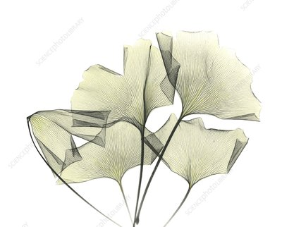 Ginkgo plant leaves, X-ray