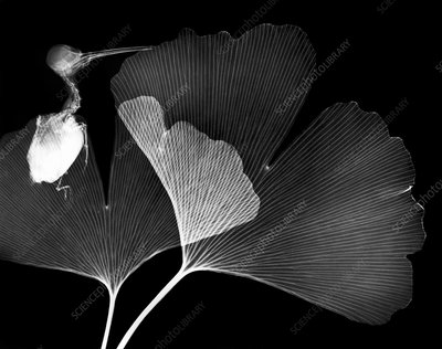 Ginkgo leaves and bird, X-ray