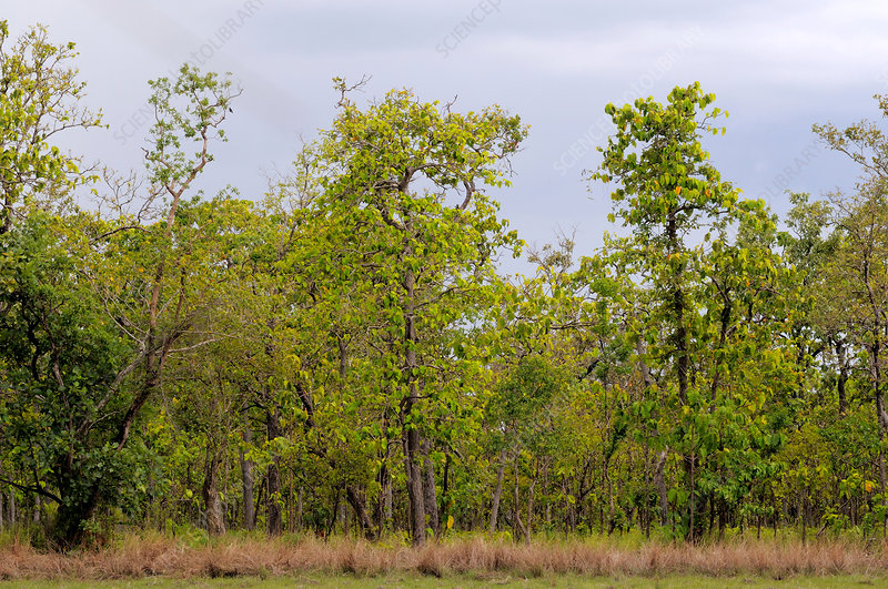 Cambodian Dipterocarp Forest