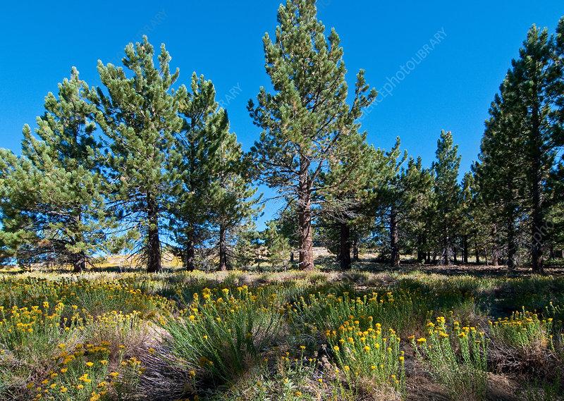 Jeffrey Pine Forest