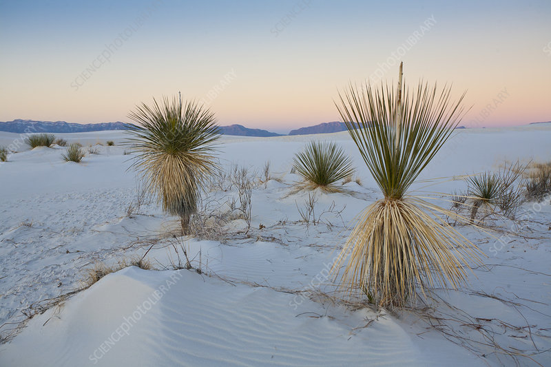 Yuccas at White Sands National Monument