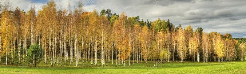 Autumn foliage panorama