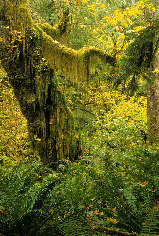 Queets Rain Forest, Olympic NP