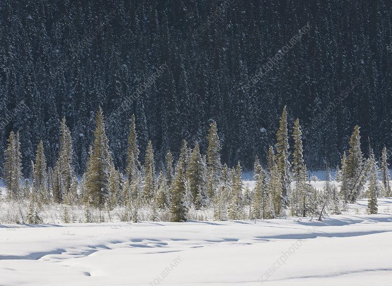 Winter Forest, Banff National Park