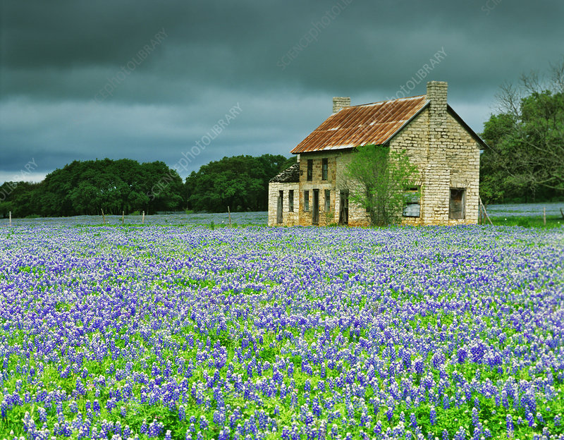 Old Ranch with Bluebonnets