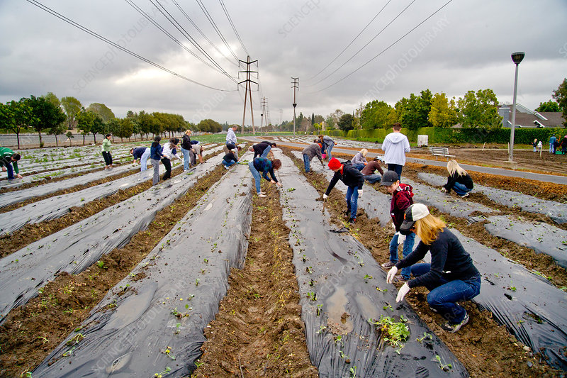 Volunteers Planting Spinach