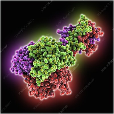 Adenovirus fibre shaft protein