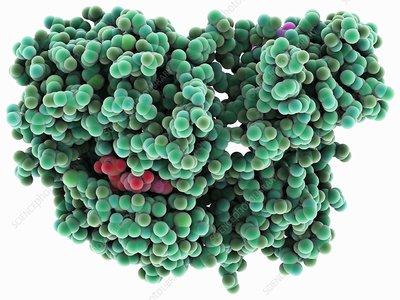 Src protein molecule