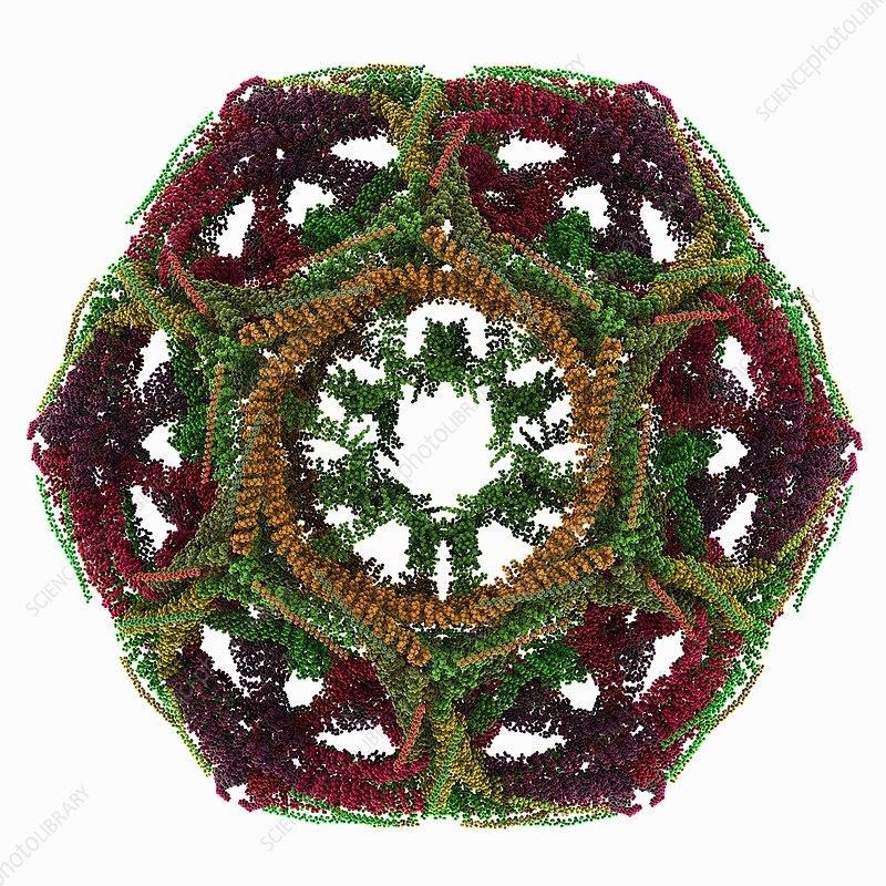 Clathrin lattice, molecular model