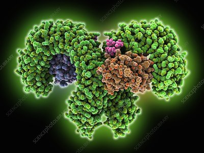 Human pathogen recognition molecule