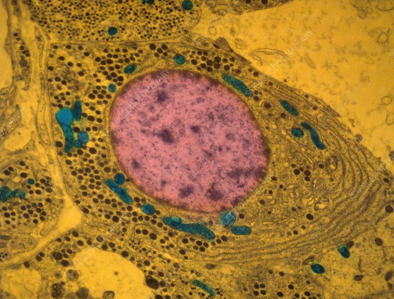 Animal Cell, TEM - Stock Image - C025/2691 - Science Photo ...