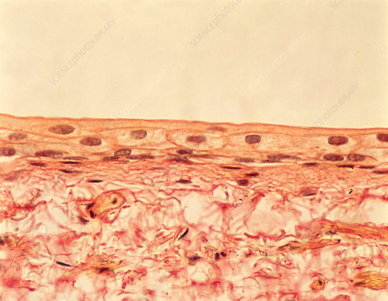 Transitional Epithelium (Stretched), LM