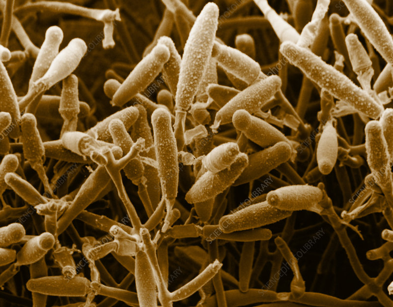 Microsporum Gypseum, SEM