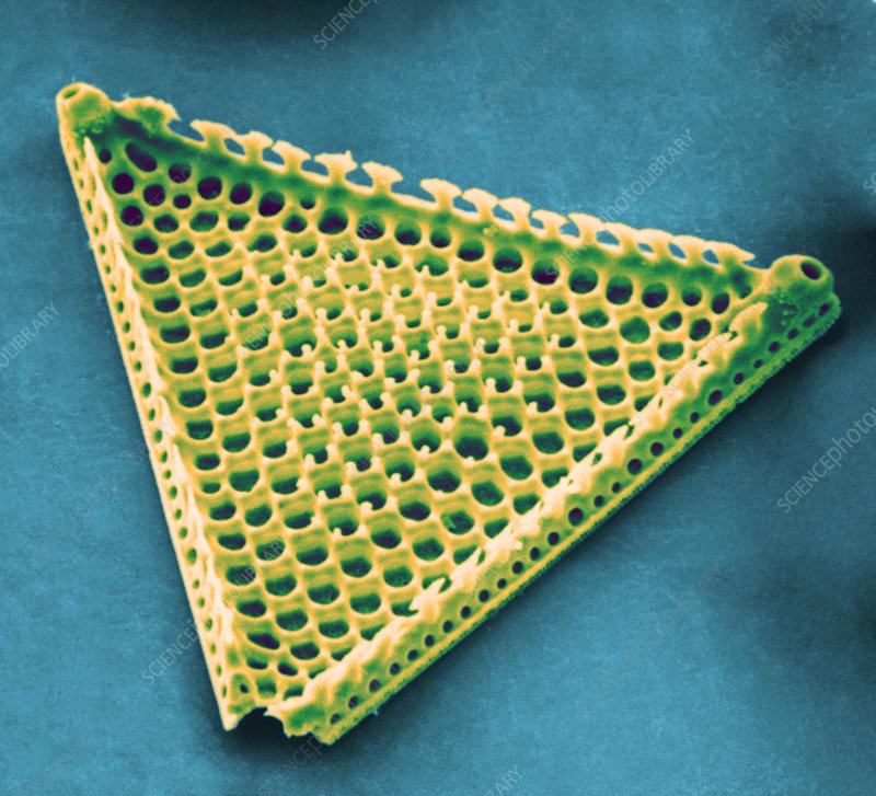 Diatom - Triceratium favus