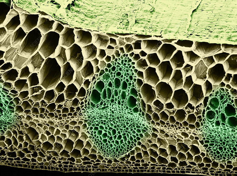 Pea Stem Section, SEM
