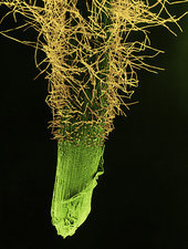 Wheat Root and Hairs, SEM