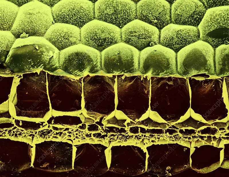 Spiderwort Leaf Section, SEM