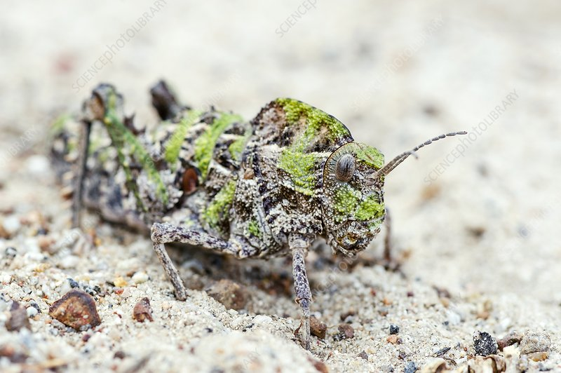 Saw-Backed Locust