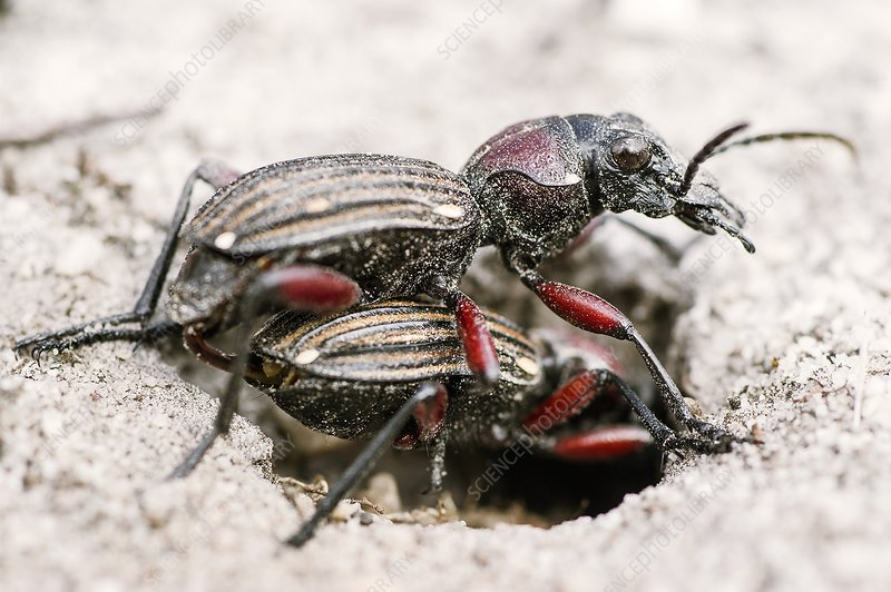 Mating Ten-spotted Ground Beetles