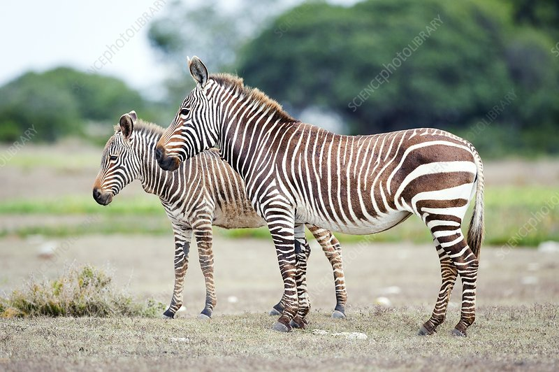 Cape Mountain zebra and foal