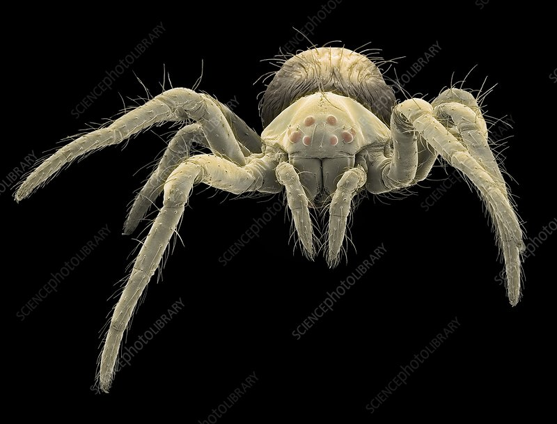 European garden spiderling, SEM