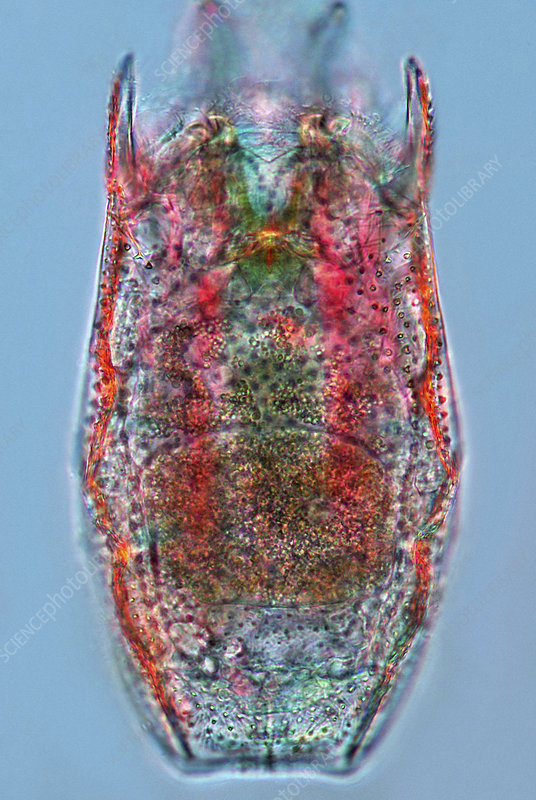 Keratella rotifer, light micrograph