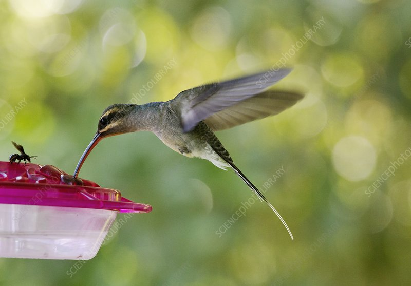 Green hermit hummingbird feeding