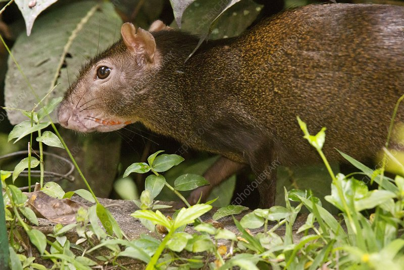 Red-rumped agouti foraging