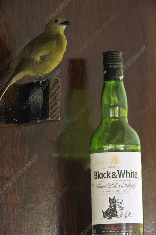 Palm tanager and whisky bottle
