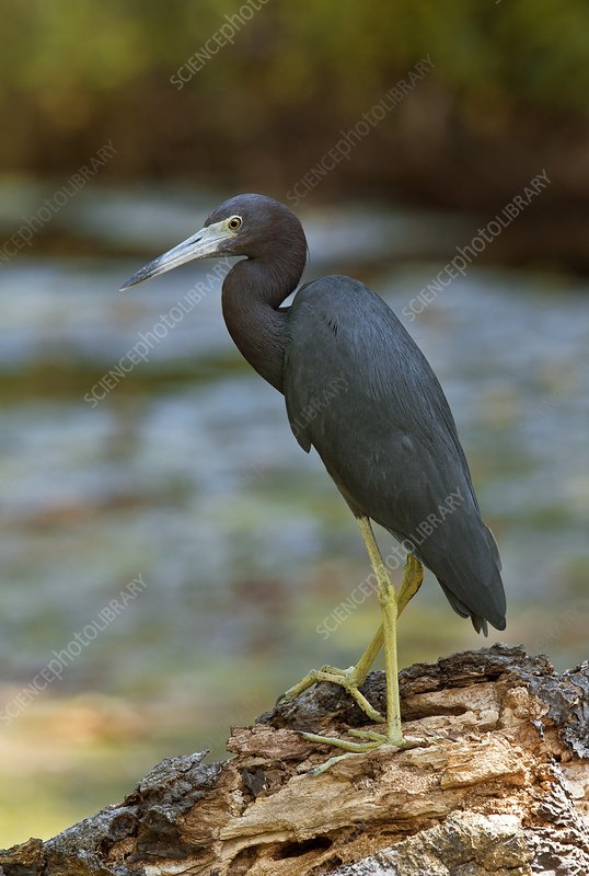 Little blue heron by a river