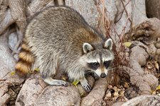 Raccoon foraging for food