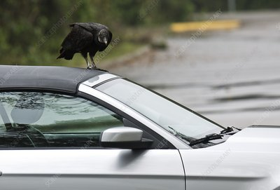Black vulture attacking a vehicle