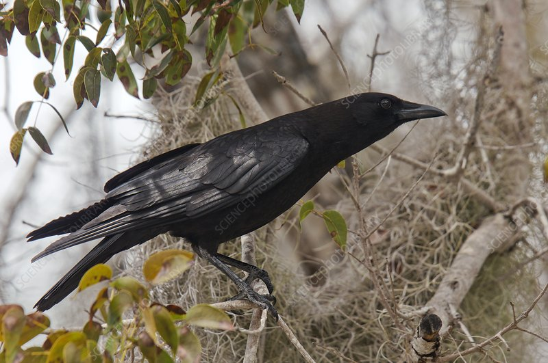 American crow in a tree