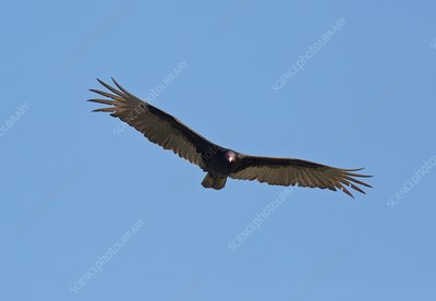 Turkey vulture (Cathartes aura) in flight