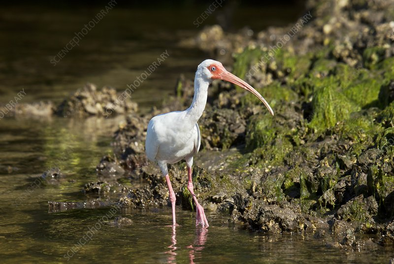 American white ibis feeding in a lagoon