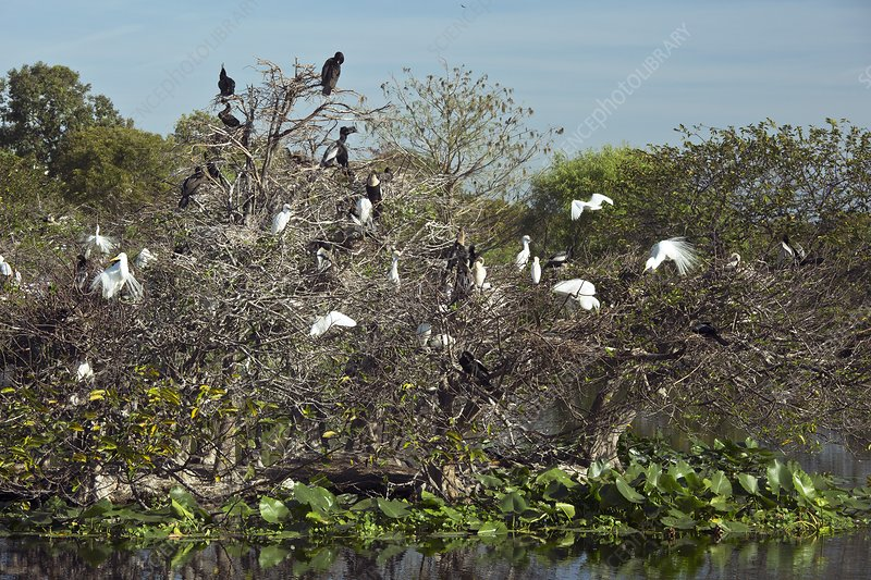 Wading birds roosting in a tree