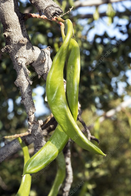 Carob tree (Ceratonia siliqua) in fruit