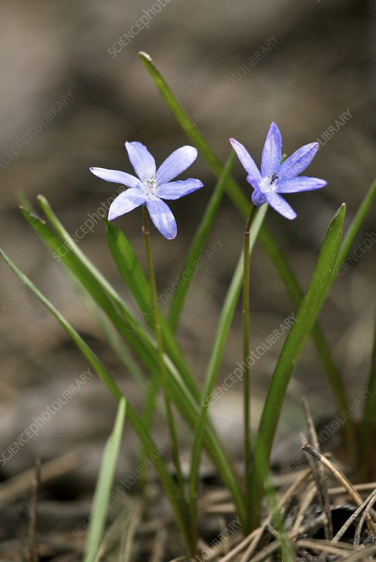 Chionodoxa lochiae in flower