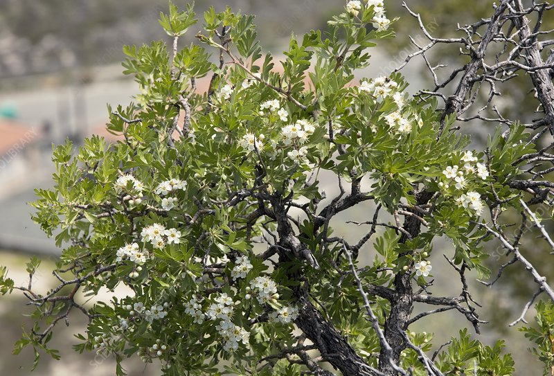 Azarole (Crataegus azarolus) in flower